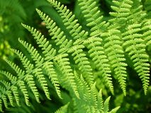 Spring Fern Royalty Free Stock Photography