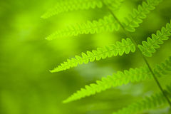 Spring fern background Royalty Free Stock Images