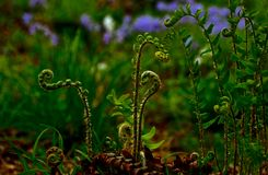 Spring Fern Stock Photography