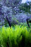 Spring fern, flowering lilac color. Spring fern and flowering trees, flowering lilac color Royalty Free Stock Images