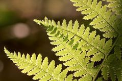Spring Fern leaf in the forest Royalty Free Stock Photo