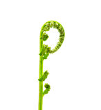 Spring fern voluted bud Royalty Free Stock Photos