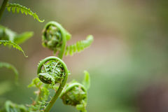 Spring ferns unfurl Stock Images
