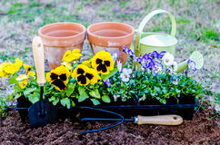 Spring Fever. Pots of pansies and violas with trowel, cultivator, and watering can on cultivated soil Stock Photography
