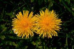 Spring Fever -  Dandelion Twins Stock Image