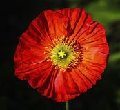 Spring fever red iceland poppy, papaver nudicaule Royalty Free Stock Photos