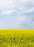 Spring field. In Ukraine. Blossoms rape Stock Photography