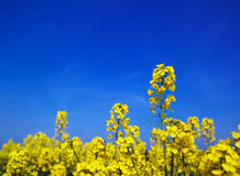 Spring field background Royalty Free Stock Photography