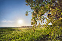 Spring field with blooming acacia trees. Sunny spring day Stock Photography