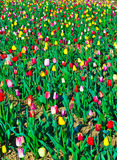 Spring field with blooming colorful Stock Photos