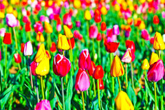 Spring field with blooming colorful Royalty Free Stock Photos