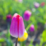 Spring field with blooming colorful tulips Stock Photos
