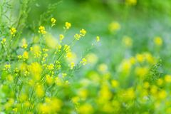 Spring field of blooming yellow flowers. Wild yellow flowers are in bloom, blurred green field background. Good inspire in morning. Selective focus royalty free stock image