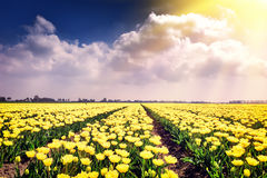 Spring field with blossoming yellow tulips Stock Photo