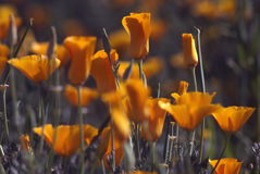 Spring in field of California Poppy Stock Photos