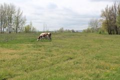 Spring field. The cow grazes. The motley cow. A motley cow grazes on a spring field. Green young grass. Spring came royalty free stock photos
