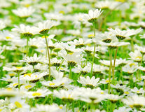 Spring field of daisies Royalty Free Stock Photography