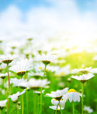 Spring field of daisies stock image
