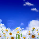 Spring Field of daisies and blue sky background Stock Photos