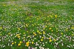 Spring field of daisies and dandelions Royalty Free Stock Photo