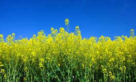 Spring field with flowers Royalty Free Stock Image