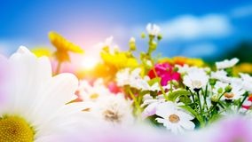 Spring field with flowers, daisy, herbs. Sun on blue sky royalty free stock photo