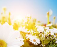 Spring field with flowers, daisy, herbs. Sun on blue sky Royalty Free Stock Image
