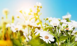 Spring field with flowers, daisy, herbs Stock Photography