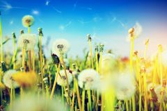 Spring field with flowers, dandelions Stock Images