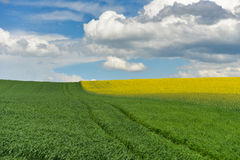 Spring field of fresh green hay and yellow flowers, rape. cloudy Royalty Free Stock Photo
