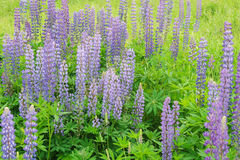 Spring field, garden, flowers. Tinted photo. Selective focus on front side. Lupine meadow with purple and blue flowers Stock Photos