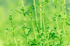 Spring field grow grass Royalty Free Stock Photo