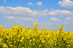 Spring field, landscape of yellow flowers, ripe. Spring field of yellow flowers, ripe. Blue sunny sky. Landscape backgrounds Royalty Free Stock Images