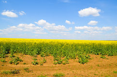 Spring field, landscape of yellow flowers, ripe Stock Images