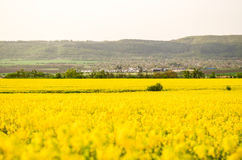 Spring field, landscape of yellow flowers, ripe Stock Photography