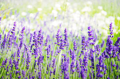 Spring field with lavender Stock Images