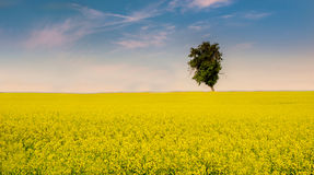 Spring field. Lonely tree on spring field Royalty Free Stock Photo