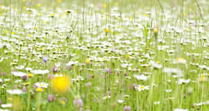 Spring field with marguerite flowers Stock Photos
