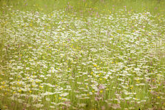 Spring field with marguerite flowers Stock Images