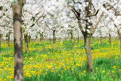 Spring field, meadow, pasture, grassland, orchard full of yellow Stock Image