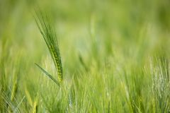 Spring field with Organic grains Stock Photography
