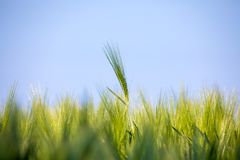 Spring field with Organic grains Royalty Free Stock Images