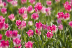 A spring field with pink tulips Stock Photo