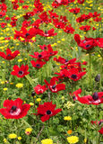 Spring field of red poppies Royalty Free Stock Image
