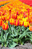 Spring field of red and striped tulips Stock Photos