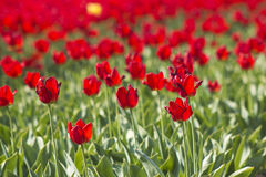A spring field with red tulips, the Netherlands Stock Photos