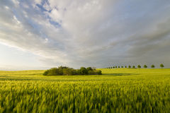Spring field of ripening cereal in a beautiful sunset light Royalty Free Stock Images
