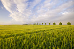 Spring field of ripening cereal in a beautiful sunset light Royalty Free Stock Photo