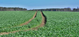 Spring field sown oilseed, South Bohemia Stock Photo