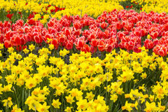 A spring field with spring flowers Royalty Free Stock Photography
